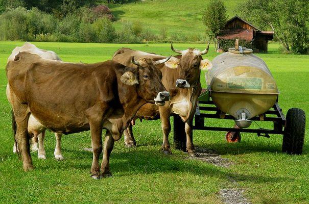 """Kühe in Oberstdorf"""