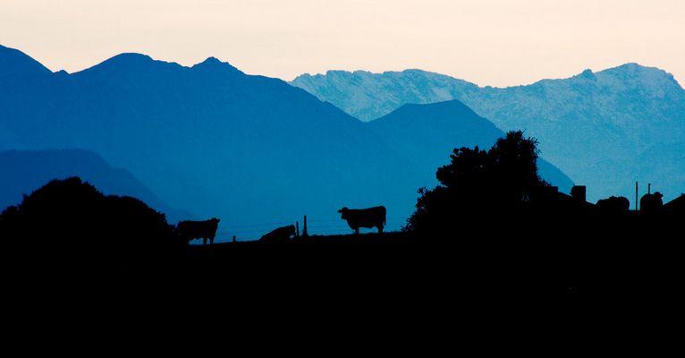 Kühe vor dem Zugspitzmassiv