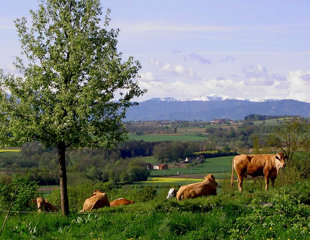 kühe......landschaft.....