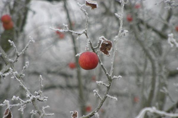 Kühler Apfel