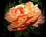 Kühlergitter Schatten auf der Rose..........