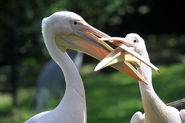Kuessen auf Pelikanart