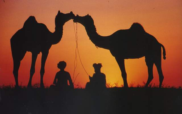 Küssende Kamele