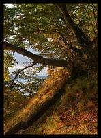 Küstenbäume