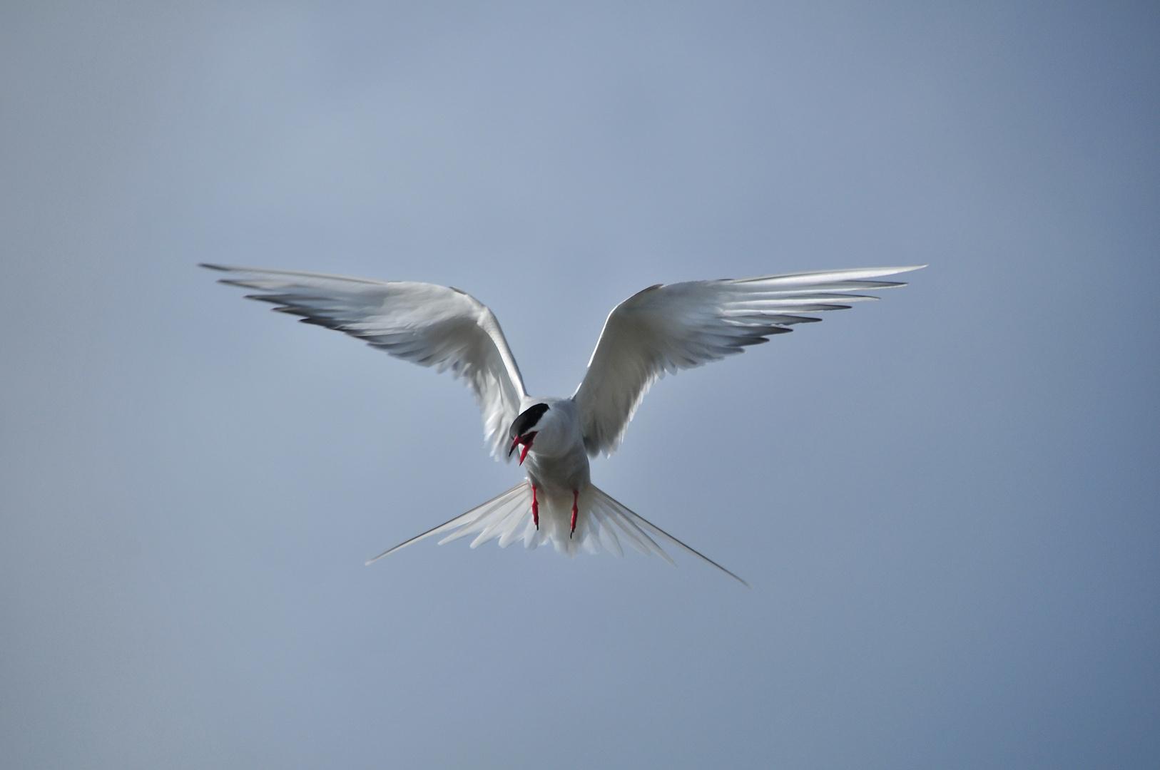 Küstenseeschwalbe im Erkundungsflug.