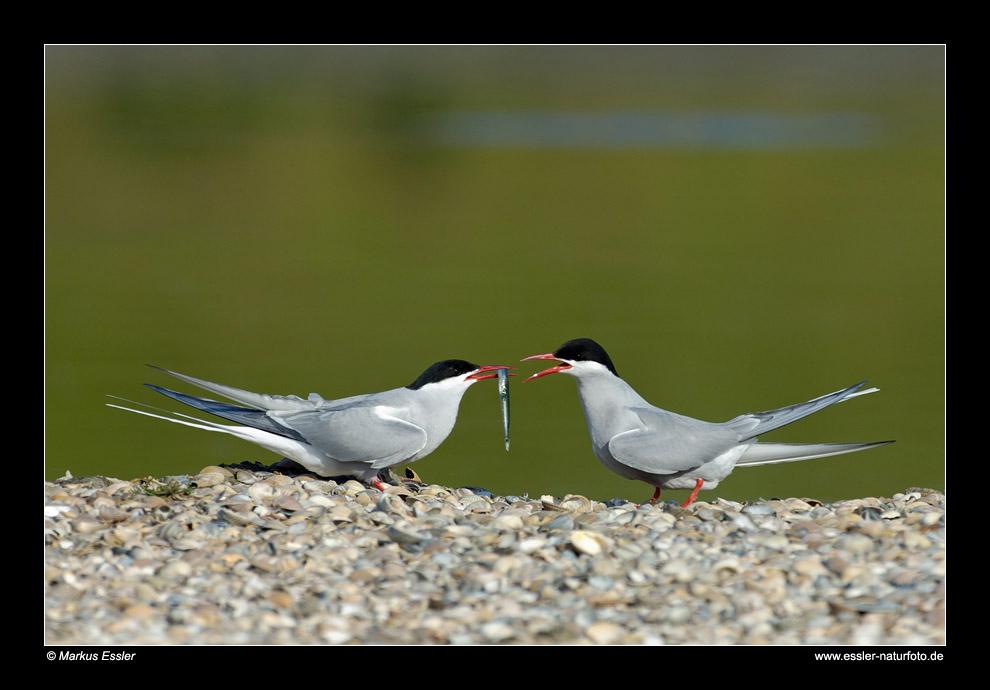 Küstenseeschwalben-Pärchen • Insel Texel, Nord-Holland, Niederlande (21-21324)