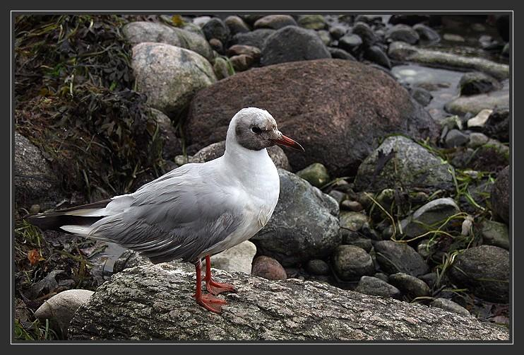 Küstenvogel
