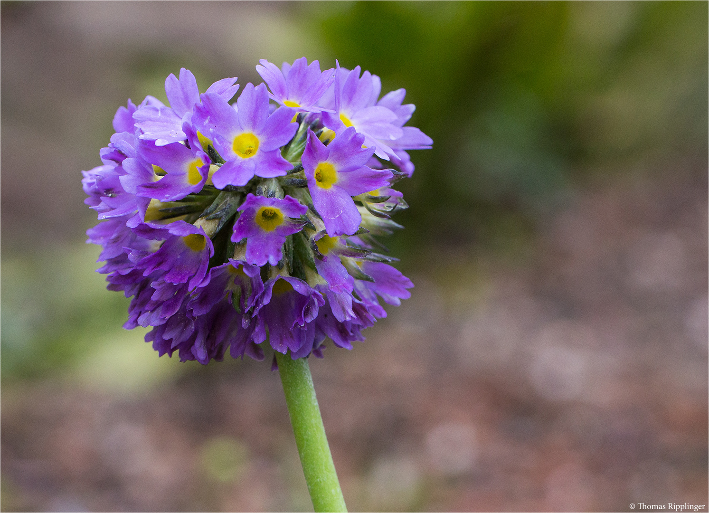 Kugel Primel (Primula denticulata)...
