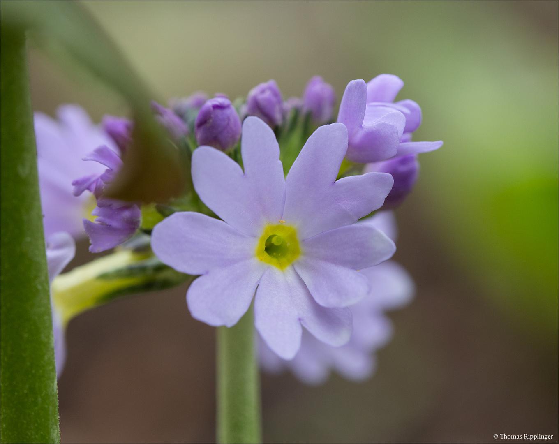 Kugel Primel (Primula denticulata).