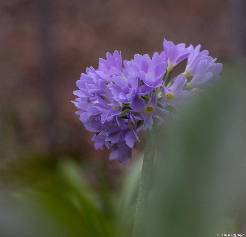 Kugel Primel (Primula denticulata)..