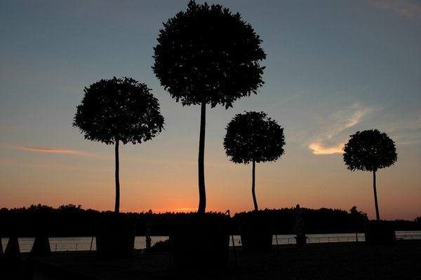 Kugelbäume im Abendrot