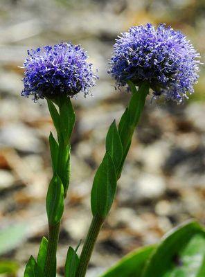Kugelblume - zwei Blütenstände