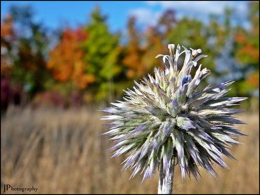 Kugeldistel - Es ist Herbst
