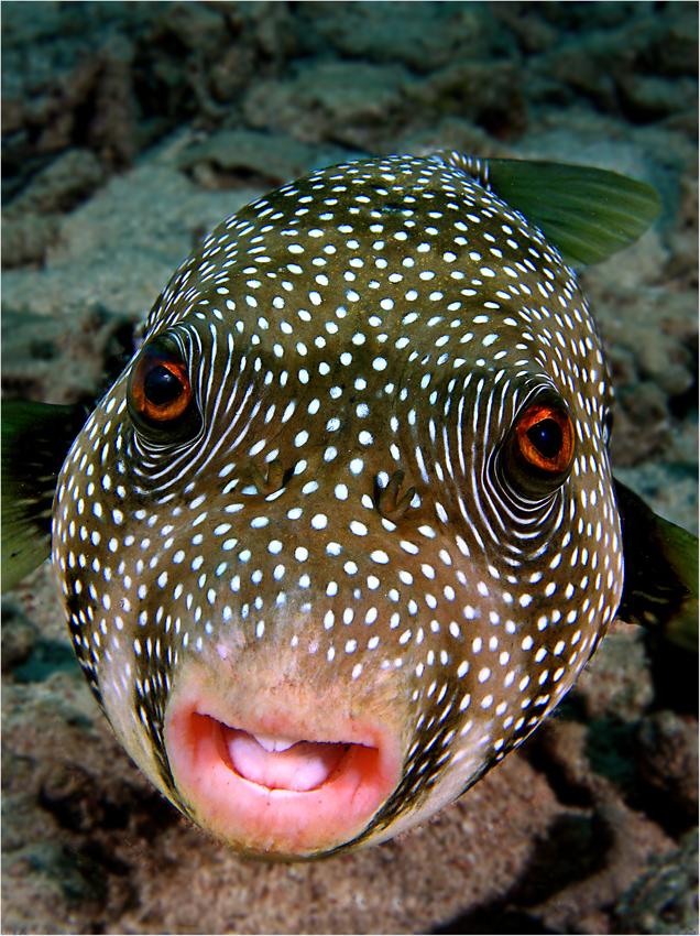 Kugelfisch Foto & Bild | unterwasser, uw-salzwasser, natur ...