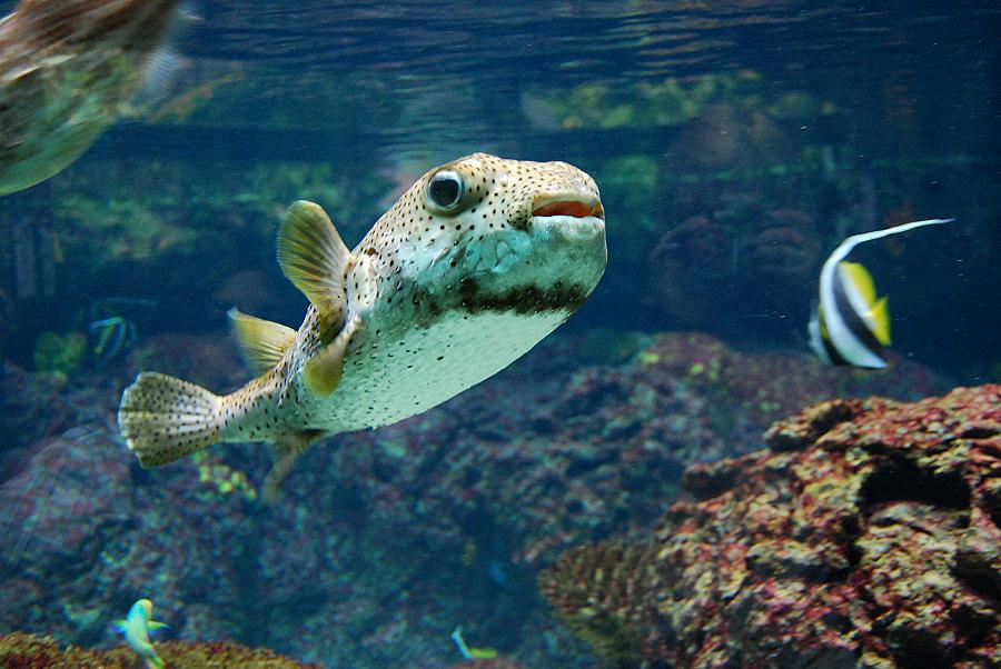 Kugelfisch ;-)