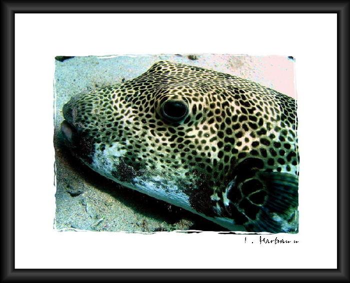 Kugelfisch - Arathron stellatus