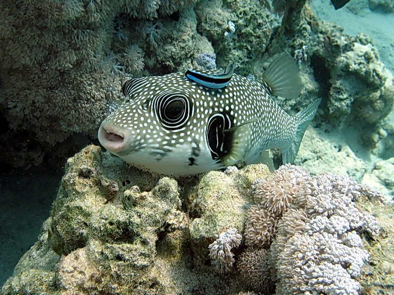 Kugelfisch auf Putzerstation