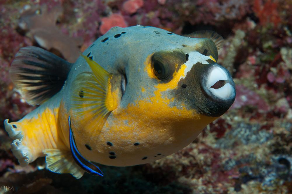 Kugelfisch mit Putzer