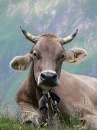 Kuh am Seealpsee (Appenzell, CH)
