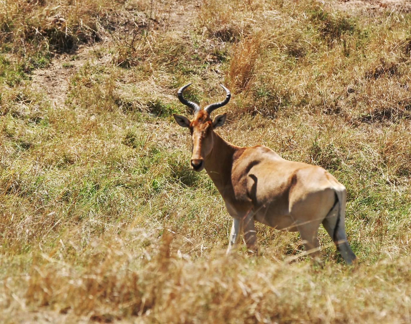 ....Kuh-Antilope.....
