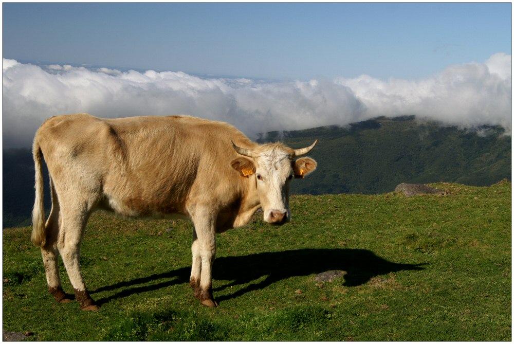 Kuh auf Hochebene Paul de Serra