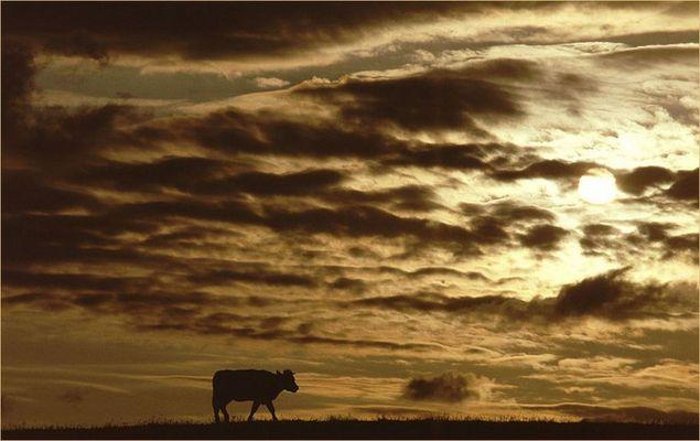 Kuh auf'm Deich...