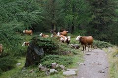 Kuh Herde im Wald