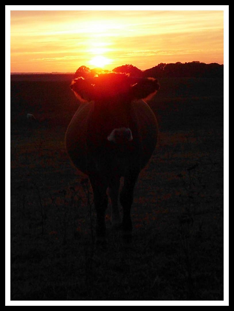 Kuh im Abendsonnenschein