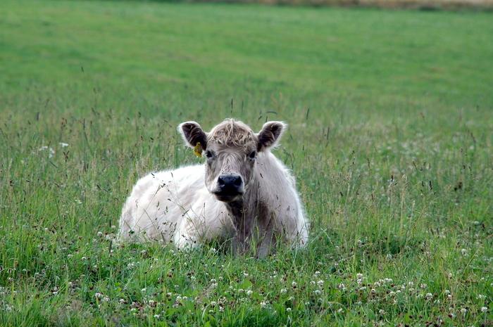 Kuh im grünen