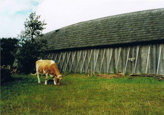 Kuh im Vikingecenter