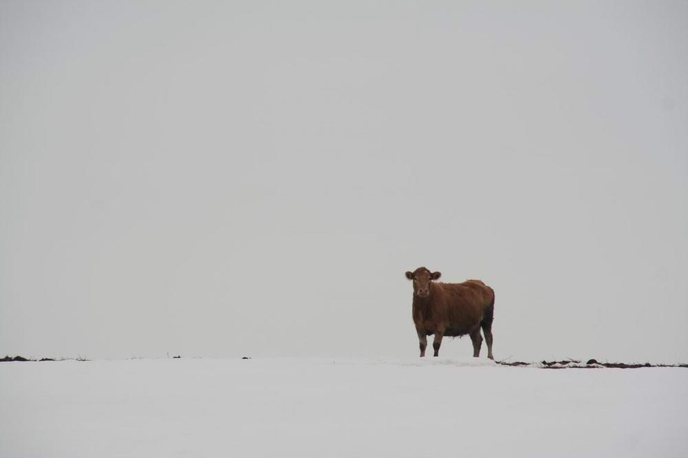 Kuh im Winter