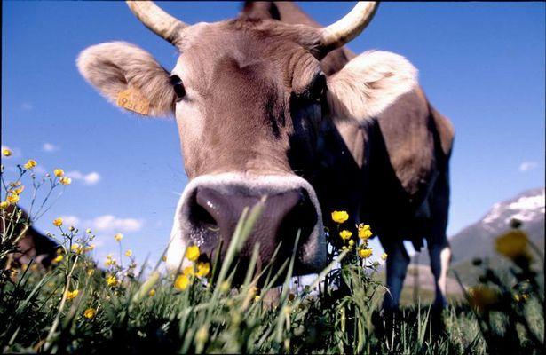 Kuh in Kamera