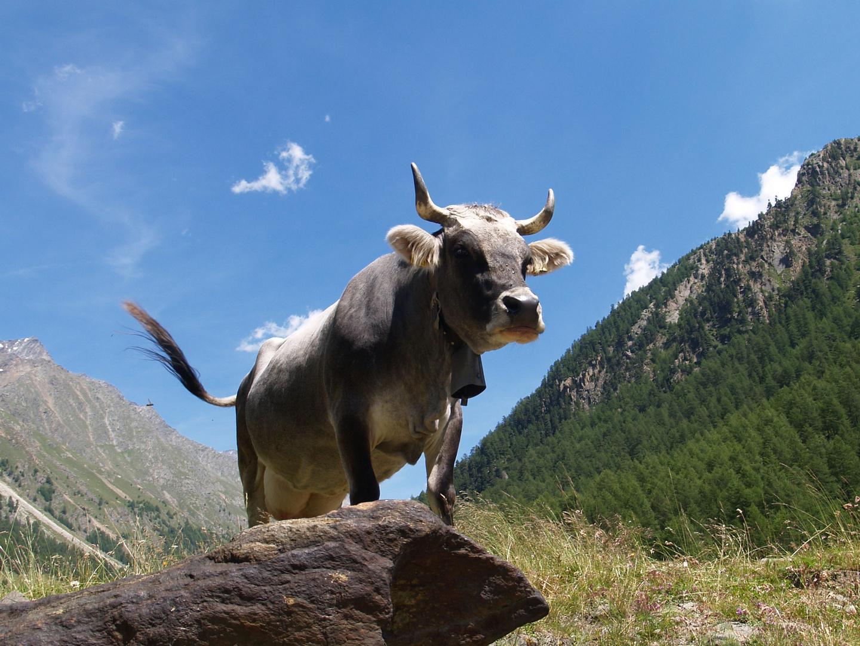 Kuh in Süd-Tirol