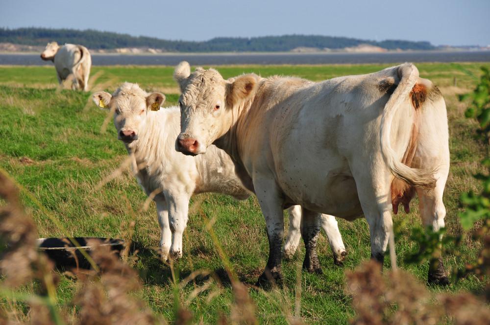 Kuh mit Kalb in Dänemark