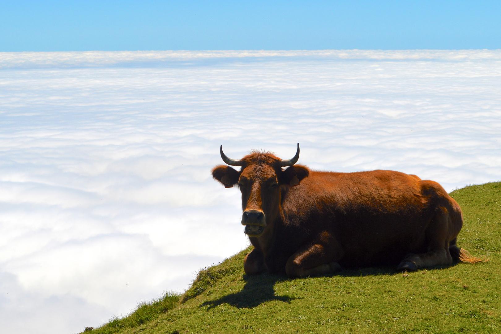 Kuh über den Wolken