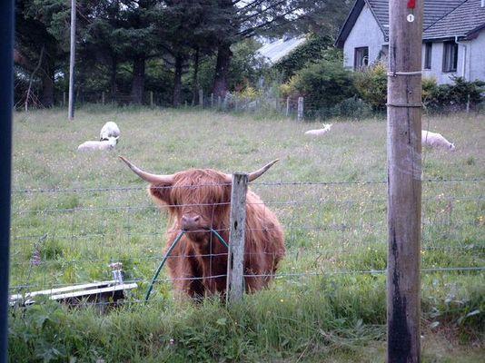 Kuh-Zahnpflege