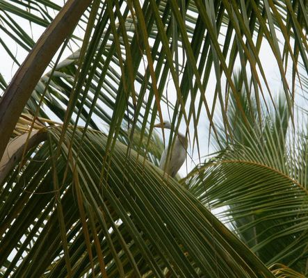 Kuhreiher auf einem Kokospalmenblatt