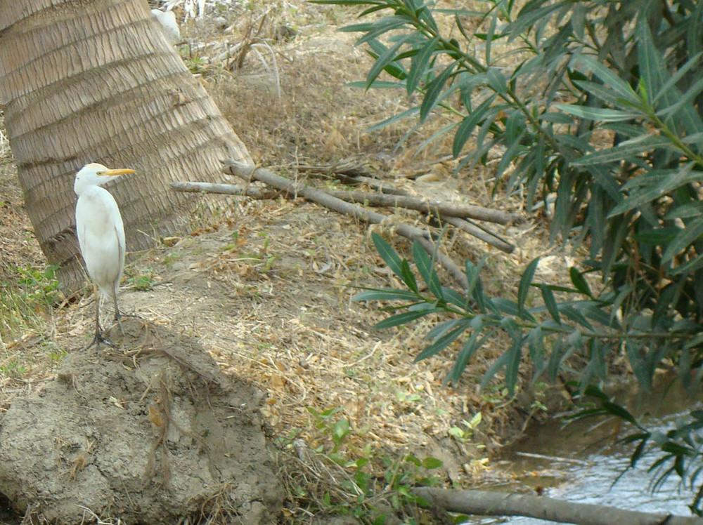 Kuhreiher (Garza) am Bewässerungsgraben