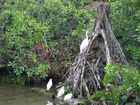 Kuhreiher in den Mangroven