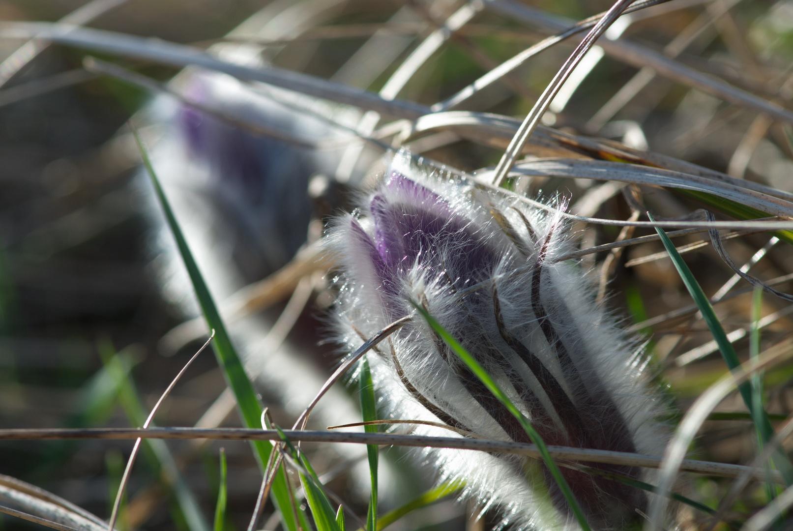 Kuhschelle Frühlingsanemone am Eichkogel MD