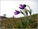 kuhschelle I... (Pulsatilla vulgaris).........