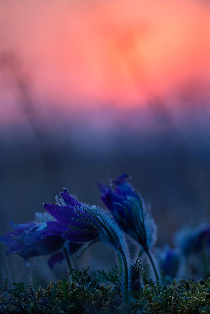 Kuhschelle nach Sonnenuntergang