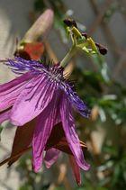 Kunst in der Natur: die Passionsblume