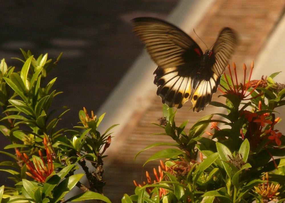 kupu-kupu - papillon