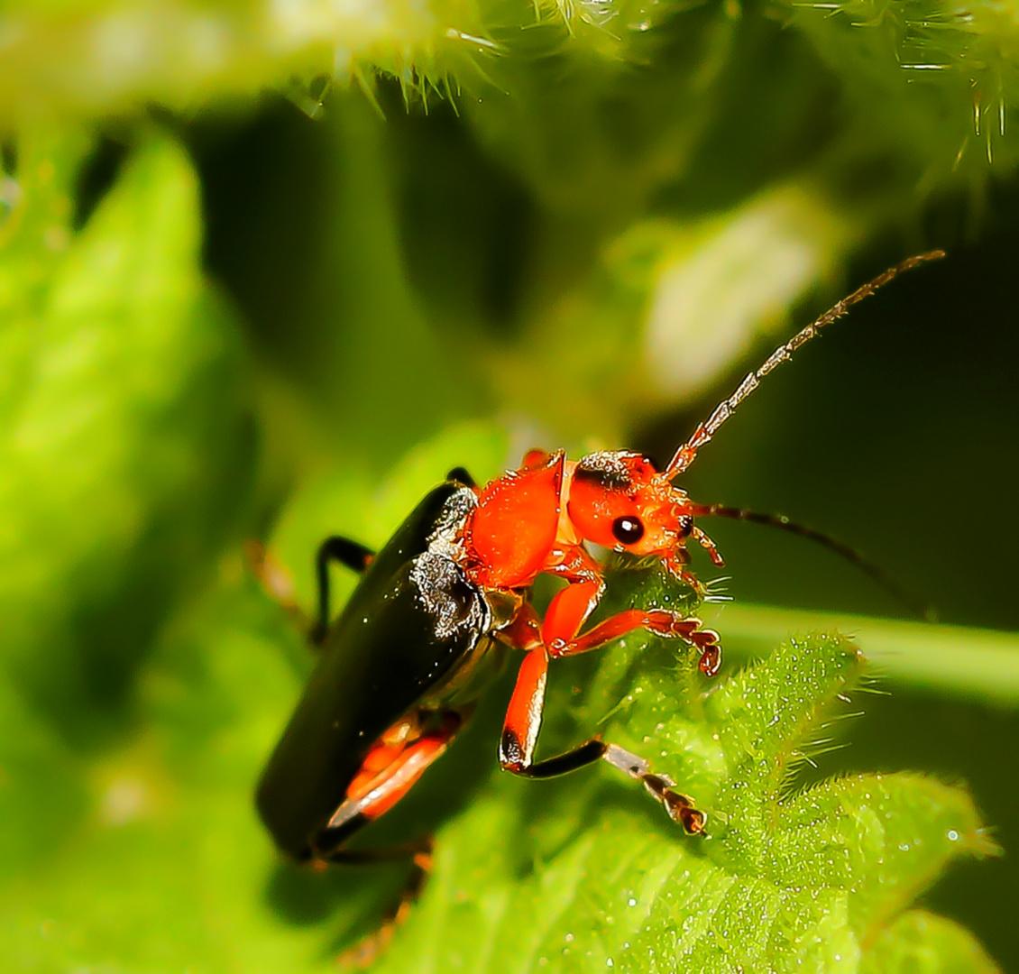 Kurt - der Käfer