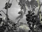 Kurz vor der Weinernte in der Toskana