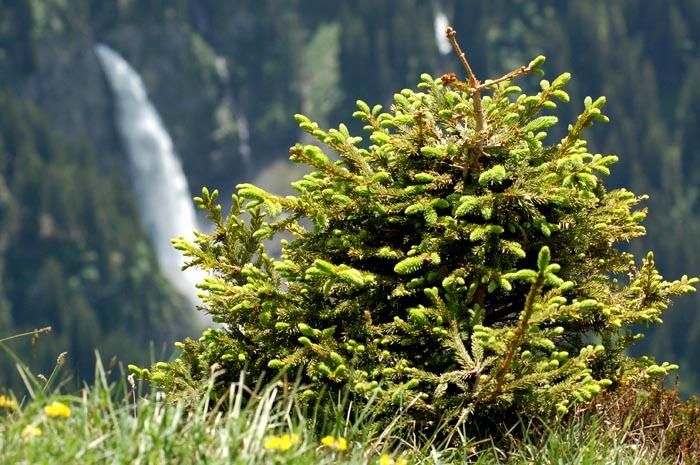 Kurze Blüte im Bergsommer