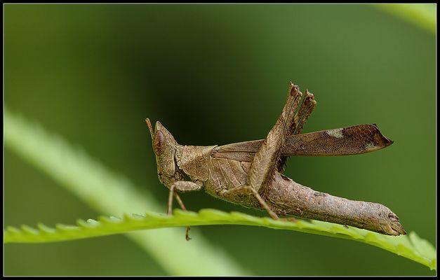 Kurzfühlerschrecke - oder Grashüpfer mit kurzen Fühlern :o)