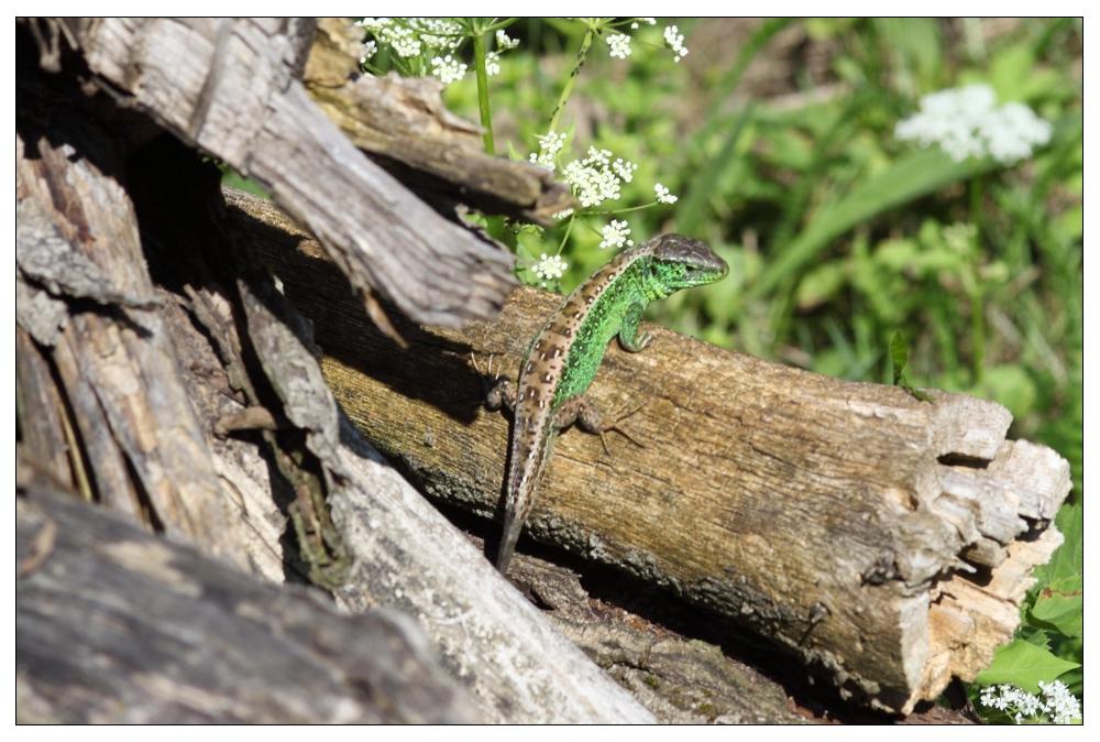 Kurzschwanzeidechse im Holz