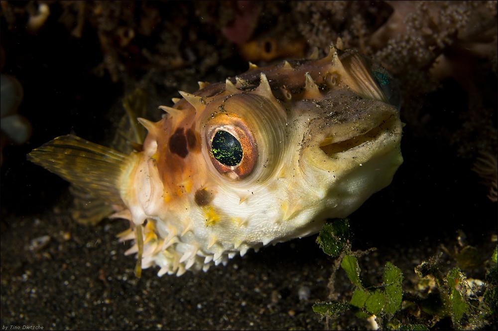 Kurzstachel Igelfisch